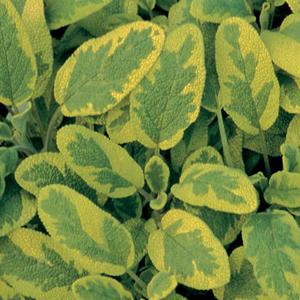 Sage Golden