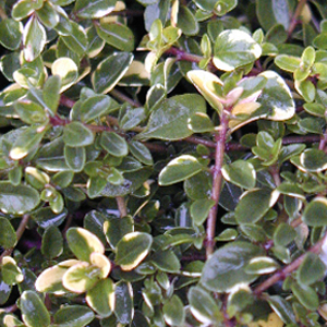 Thyme Foxley