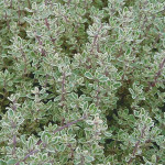 Thyme Silver