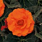 Begonia Mocca Deep Orange
