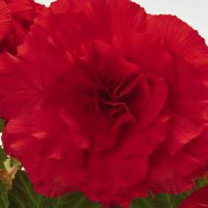 Begonia Nonstop Red