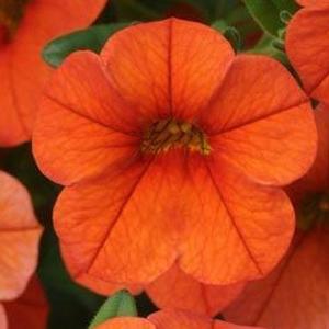 Calibrachoa Can Can Orange
