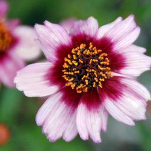 Coreopsis Mambo