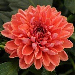 Dahlia-dahlietta-lily