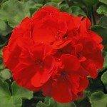 Geranium Sunrise XL True Red