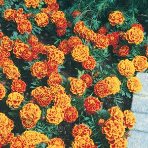 Marigold Durango