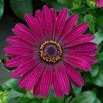 Osteospermum Flower Power Dark Purple