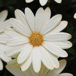 Osteospermum Voltage White