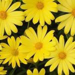 Osteospermum Voltage Yellow