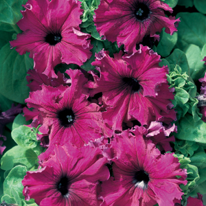 Petunia Frillytunia