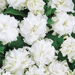 Petunia-Ruffle-White