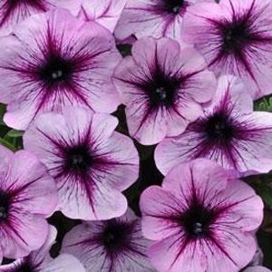 Petunia-Sun-Spun-Lavender-Star