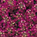 Alyssum Easter Bonnet Violet