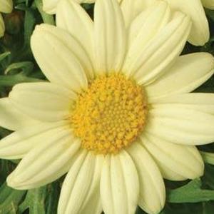 Argyranthemum Crested Primrose