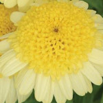 Argyranthemum Madiera Crest Primrose