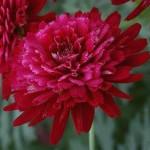 Argyranthemum Madiera Crested Merlot