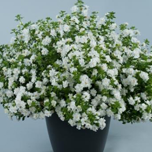 Bacopa Double Snowball