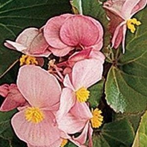 Begonia Baby Wing Grn Lf Pink