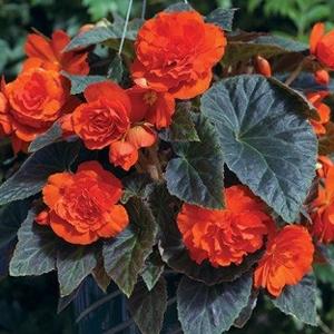 Begonia Go Go Orange