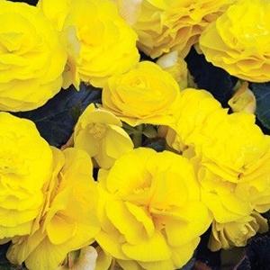 Begonia Go Go Yellow