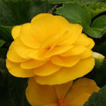 Begonia Mocca Yellow