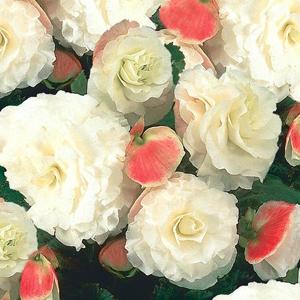 Begonia Nonstop Appleblossom