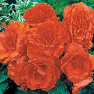 Begonia Nonstop Orange