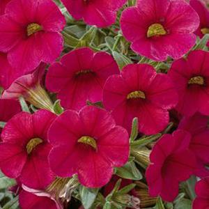 Calibrachoa Callie Bright Red