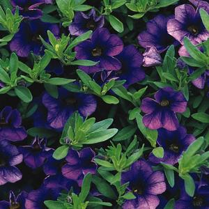 Calibrachoa Callie Dark Blue