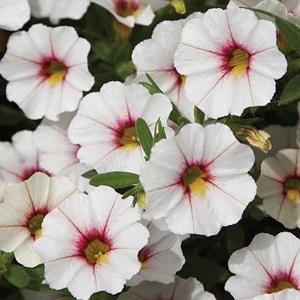 Calibrachoa Callie White Rose Vein