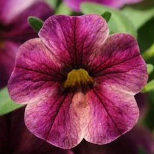 Calibrachoa Can Can Purple Star