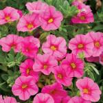 Calibrachoa-Superbells Pink