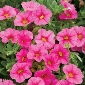 Calibrachoa Superbells Pink