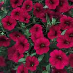 Calibrachoa-Superbells Red