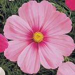 Cosmos Sonata Pink Blush