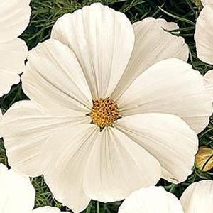 Cosmos Sonata White