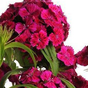 Dianthus Dash Violet