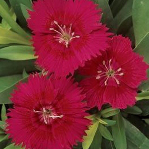 Dianthus Ideal Select Red