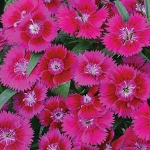 Dianthus Ideal Select Violet
