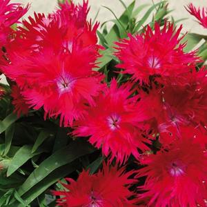 Dianthus Supra Red