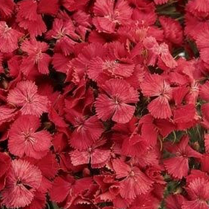 Dianthus Sweet Coral