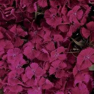 Dianthus Sweet Purple