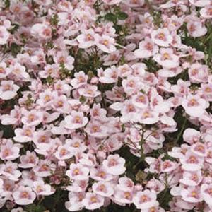 Diascia Darla Apple Blossom