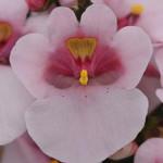Diascia Juliet Pink With Eye