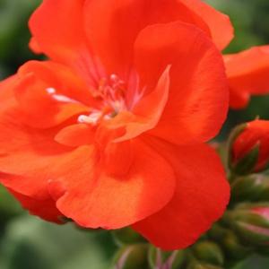 Geranium Rocky Mountain Orange