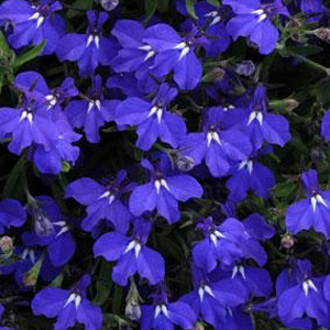 Lobelia Hot Springs Dark Blue Westwind Gardens