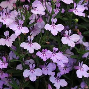 Lobelia Hot Springs Lavender Pink