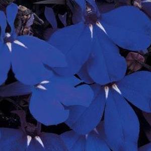 Lobelia Midnight Blue