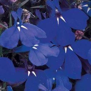 Lobelia Riviera Marine Blue
