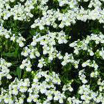 Nemesia Confection White